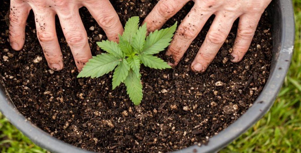 Marijuana Addiction - How Addictive is Weeed?